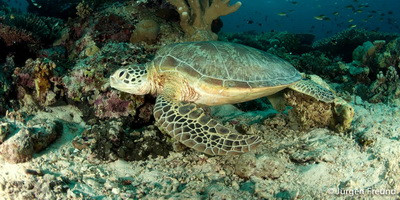 Bacteriophage versus antibiotic therapy on gut bacterial communities of juvenile green turtle